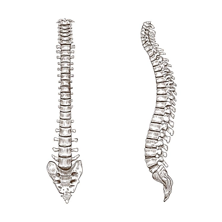 spine diagram